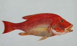 Reproduction oil paintings - Anonymous Artist - Eekan Bambangan, from 'Drawings of Fishes from Malacca', c.1805-18