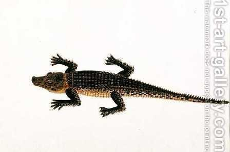 Boo-ay-ah Alligator, from 'Drawings of Animals, Insects and Reptiles from Malacca', c.1805-18