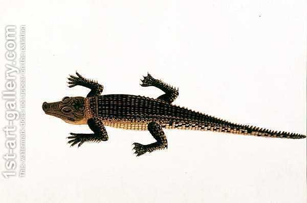 Huge version of Boo-ay-ah Alligator, from 'Drawings of Animals, Insects and Reptiles from Malacca', c.1805-18