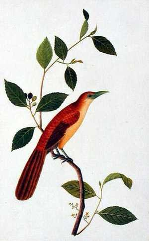 Reproduction oil paintings - Anonymous Artist - Boorong Seliah, from 'Drawings of Birds from Malacca', c.1805-18