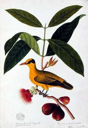 Reproduction oil paintings - Anonymous Artist - Boorong koonjiet koonjiet, Jambo Flore mera, from 'Drawings of Birds from Malacca', c.1805-18