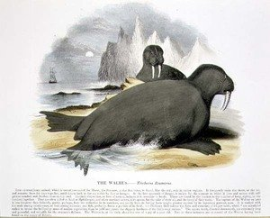 Josiah Wood Whymper reproductions - The Walrus (Trichecus rosmarus) educational illustration pub. by the Society for Promoting Christian Knowledge, 1843