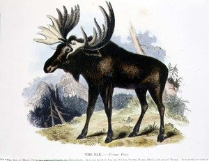 Reproduction oil paintings - Josiah Wood Whymper - The Elk (Cervus alces) educational illustration pub. by the Society for Promoting Christian Knowledge, 1843