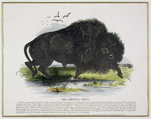 Reproduction oil paintings - Josiah Wood Whymper - The American Bison, educational illustration pub. by the Society for Promoting Christian Knowledge, 1843