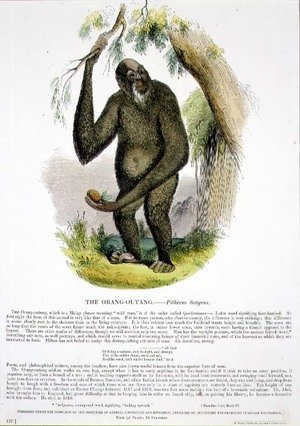 Reproduction oil paintings - Josiah Wood Whymper - The Orang-Outang (Pithecus satyrus) educational illustration pub. by the Society for Promoting Christian Knowledge, 1843