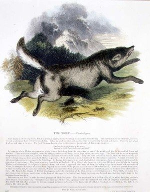 Reproduction oil paintings - Josiah Wood Whymper - The Wolf (Canis lupus) educational illustration pub. by the Society for Promoting Christian Knowledge, 1843