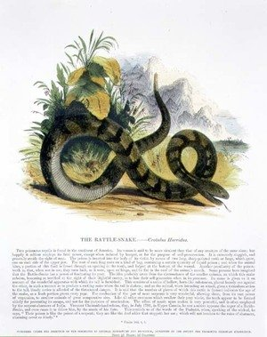 Reproduction oil paintings - Josiah Wood Whymper - The Rattle-Snake (Crotalus horridus) educational illustration pub. by the Society for Promoting Christian Knowledge, 1843
