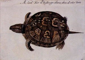 Famous paintings of Turtles: Common Box Tortoise
