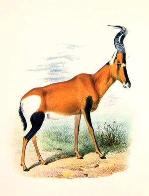 Famous paintings of Antelope: Antelope, from The Book of Antelopes