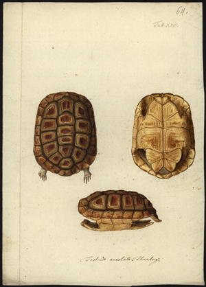 Famous paintings of Turtles: Homopus areolatus, before 1792