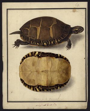 Chrysemys picta, before 1792