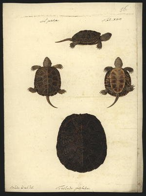 Famous paintings of Turtles: Emys orbicularis, before 1801