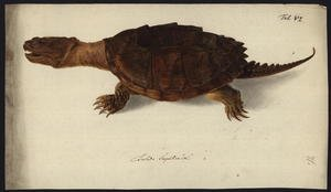 Famous paintings of Turtles: Chelydra serpentina, before 1792