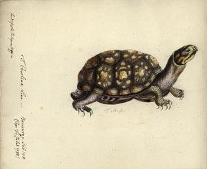 Famous paintings of Turtles: Terrapene carolina, by Friedrich Zehelein, after an engraving from Gemeinnuetzige Naturgeschichte des Therreichs, by Georg Heinrich Borowski, Berlin, Stralsund- Lange, 1788