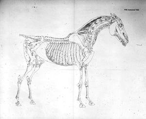Famous paintings of Skeletons: Fifth Anatomical Table, from The Anatomy of the Horse