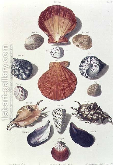 Shells, plate 4 from A Selection of Shells and Crustacea, pub. 1758 by (after) Regenfus, Franz Michael - Reproduction Oil Painting
