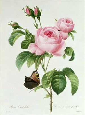 Famous paintings of Butterflies: Rosa Centifolia