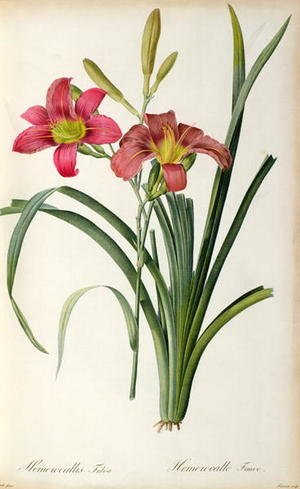 Academic Classicism painting reproductions: Hemerocallis fulva, from Les Liliacees