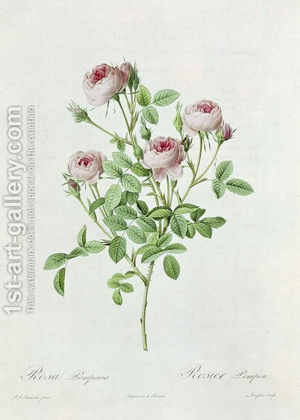 Rosa Pomponia, from Les Roses by Claude Antoine Thory 1757-1827 engraved by Eustache Hyacinthe Langlois 1777-1837 1817 by (after) Redoute, Henri Joseph - Reproduction Oil Painting