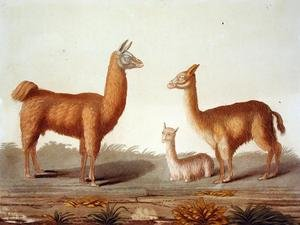 Famous paintings of Llamas: Alpaca left and Vicuna right llamas, from Le Costume Ancien et Moderne, Volume II, plate 12, by Jules Ferrario, published c.1820s-30s