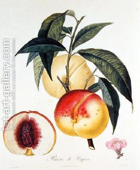 Pavie de Pompone, engraved by Bouquet by (after) Poiteau, Pierre Antoine - Reproduction Oil Painting