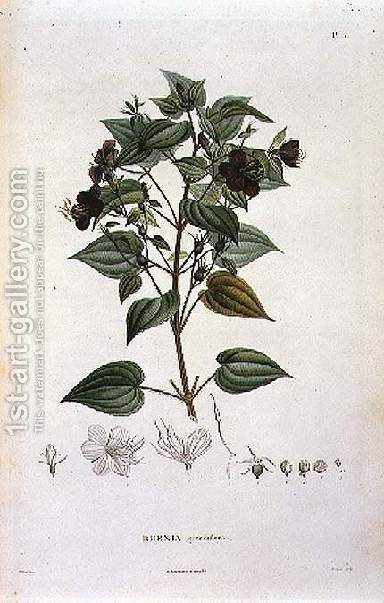 Rhexia grandiflora, engraved by Bouquet, plate 11 from Part VI of Voyage to Equinoctial Regions of the New Continent' by Friedrich Alexander, Baron von Humboldt 1769-1859 and Aime Bonpland 1773-1858 pub. 1806 by (after) Poiteau, Pierre Antoine - Reproduction Oil Painting