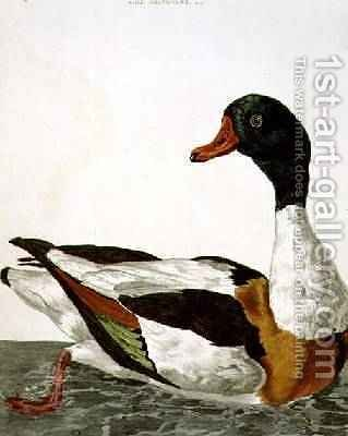 The Common Shelduck from The British Zoology, Class II Birds, engraved by Peter Mazell fl.1761-97 1766 by (after) Paillou, Peter - Reproduction Oil Painting