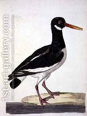 The Sea Pie or Oystercatcher Haematopus ostralegus plate from The British Zoology, Class II Birds, engraved by Peter Mazell fl.1761-97 1766 by (after) Paillou, Peter - Reproduction Oil Painting