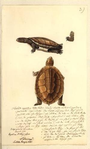 Famous paintings of Turtles: Platemys platicephala