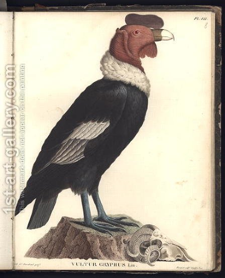 The Male Condor Vultur gryphus by (after) Humboldt, Friedrich Alexander, Baron von - Reproduction Oil Painting