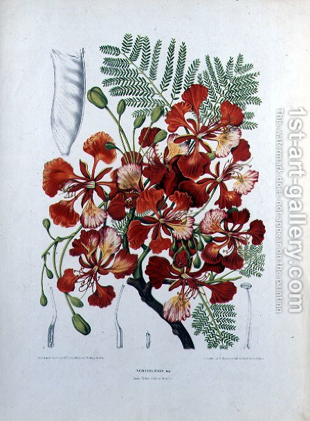 Poinciana Regia by (after) Hoola van Nooten, Berthe - Reproduction Oil Painting