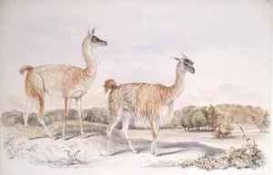 Famous paintings of Llamas: Guanaco from The Knowsley Menagerie