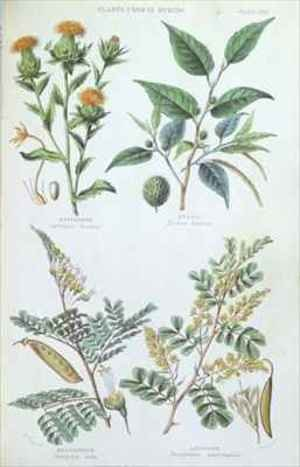 W. Fitch reproductions - Plants used in Dyeing