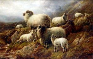 Highland Sheep 2