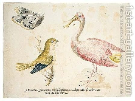 A greenfinch and a juvenile spoonbill, with a butterfly by Italian School - Reproduction Oil Painting
