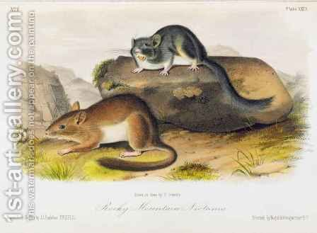 Rocky Mountain Neotoma by (after) Audubon, John Woodhouse - Reproduction Oil Painting