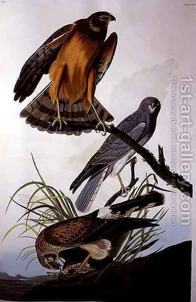 Northern Harrier (Marsh Hawk), from 'Birds of America' by (after) Audubon, John James - Reproduction Oil Painting