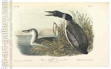 Great North Diver Loon by (after) Audubon, John James - Reproduction Oil Painting