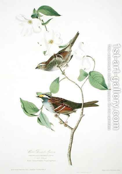 White Throated Sparrow, from 'Birds of America' by (after) Audubon, John James - Reproduction Oil Painting