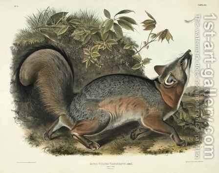 Canis (Vulpes) Virginianus (Grey Fox) by (after) Audubon, John James - Reproduction Oil Painting