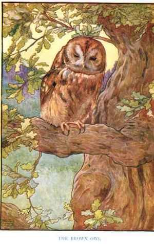 The Brown Owl, illustration from 'Country Ways and Country Days'