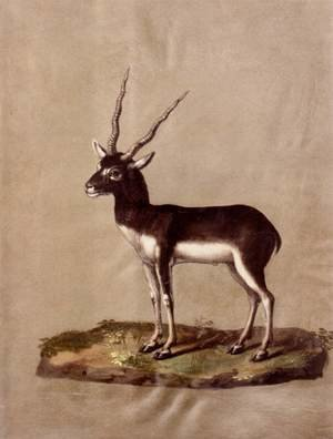 Famous paintings of Antelope: Mammals