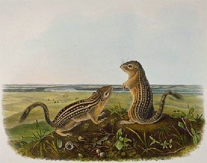 Famous paintings of Squirrels: Leopard Spermophile   Spermophilus Tridecemlineatus