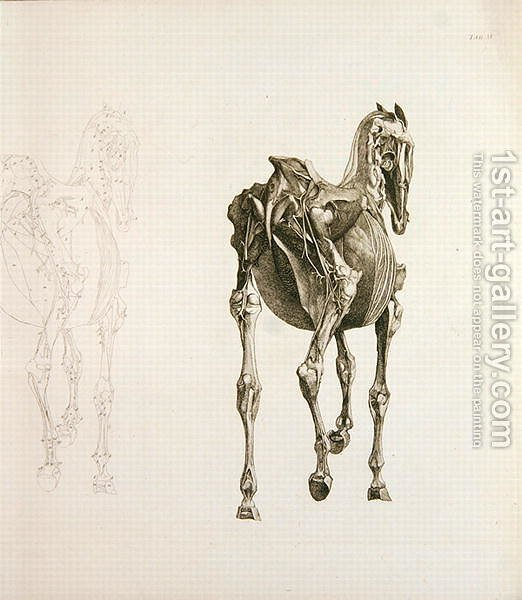 Tab. XV, from The Anatomy of the Horse..., 1766 George Stubbs ...