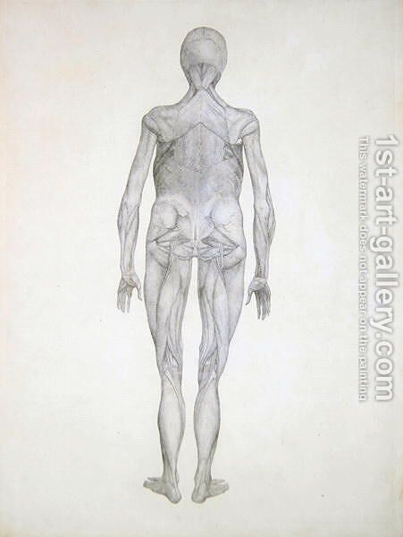Study of the Human Figure, Posterior View, with skin and underlying ...
