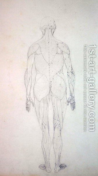 Study of the Human Figure, Posterior View, from A Comparative ...