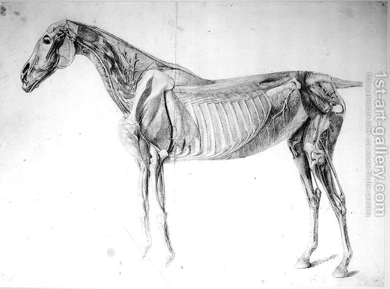 Diagram From The Anatomy Of The Horse George Stubbs Reproduction