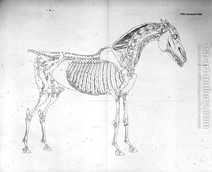 Fifth Anatomical Table From The Anatomy Of The Horse George Stubbs
