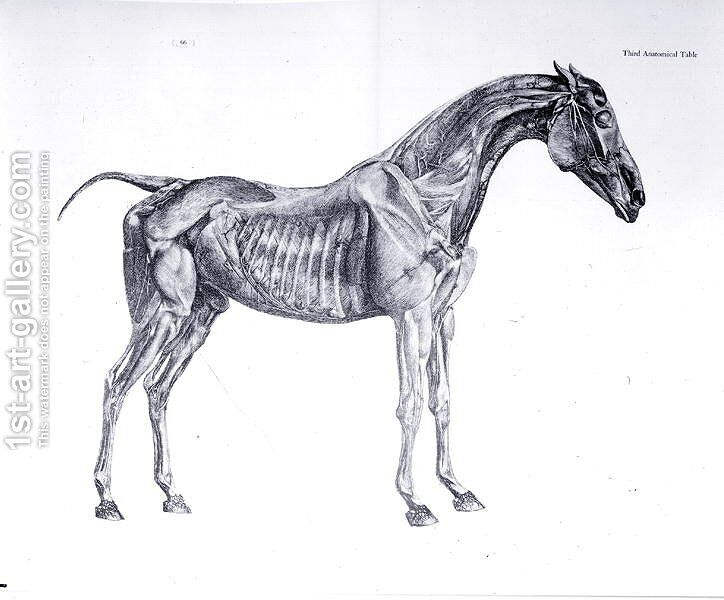 Third Anatomical Table From The Anatomy Of The Horse George Stubbs