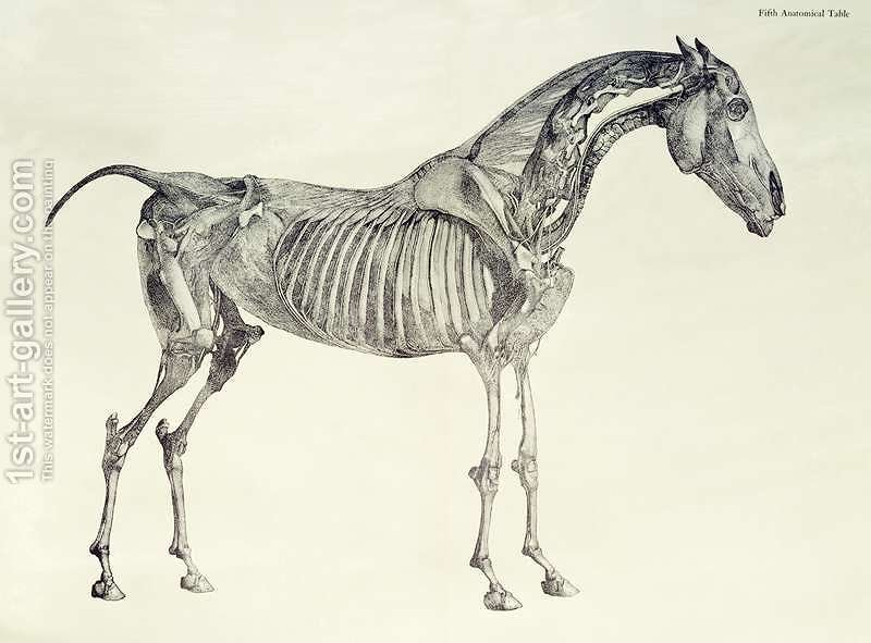 Fifth Anatomical Table From The Anatomy Of The Horse 2 George